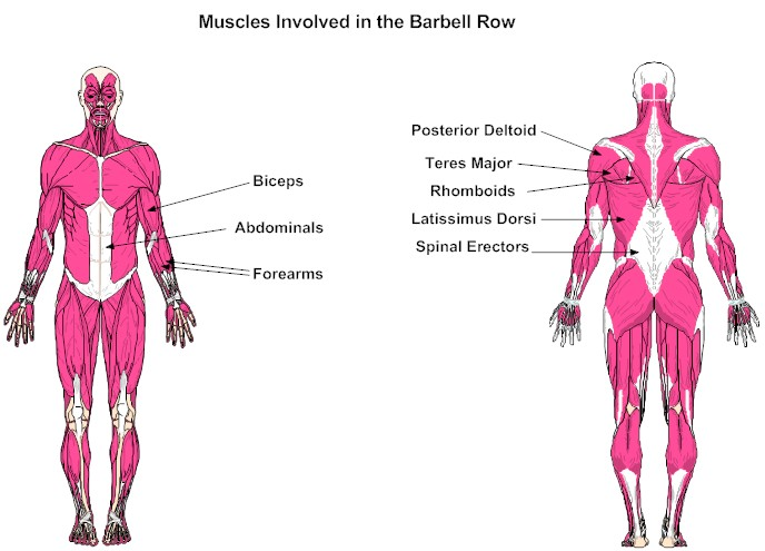 barbell row muscles worked - photo #9