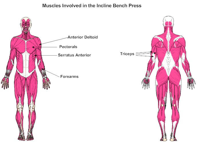 Muscles Involved in the Incline Bench Press